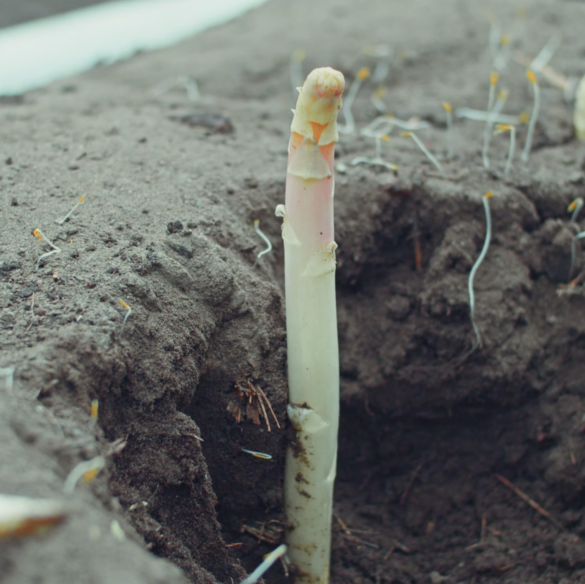Våren 2020 nådde Hvasser Asparges i Vestfold en milepæl: Da høstet de inn de første hvite aspargesene i Norge!