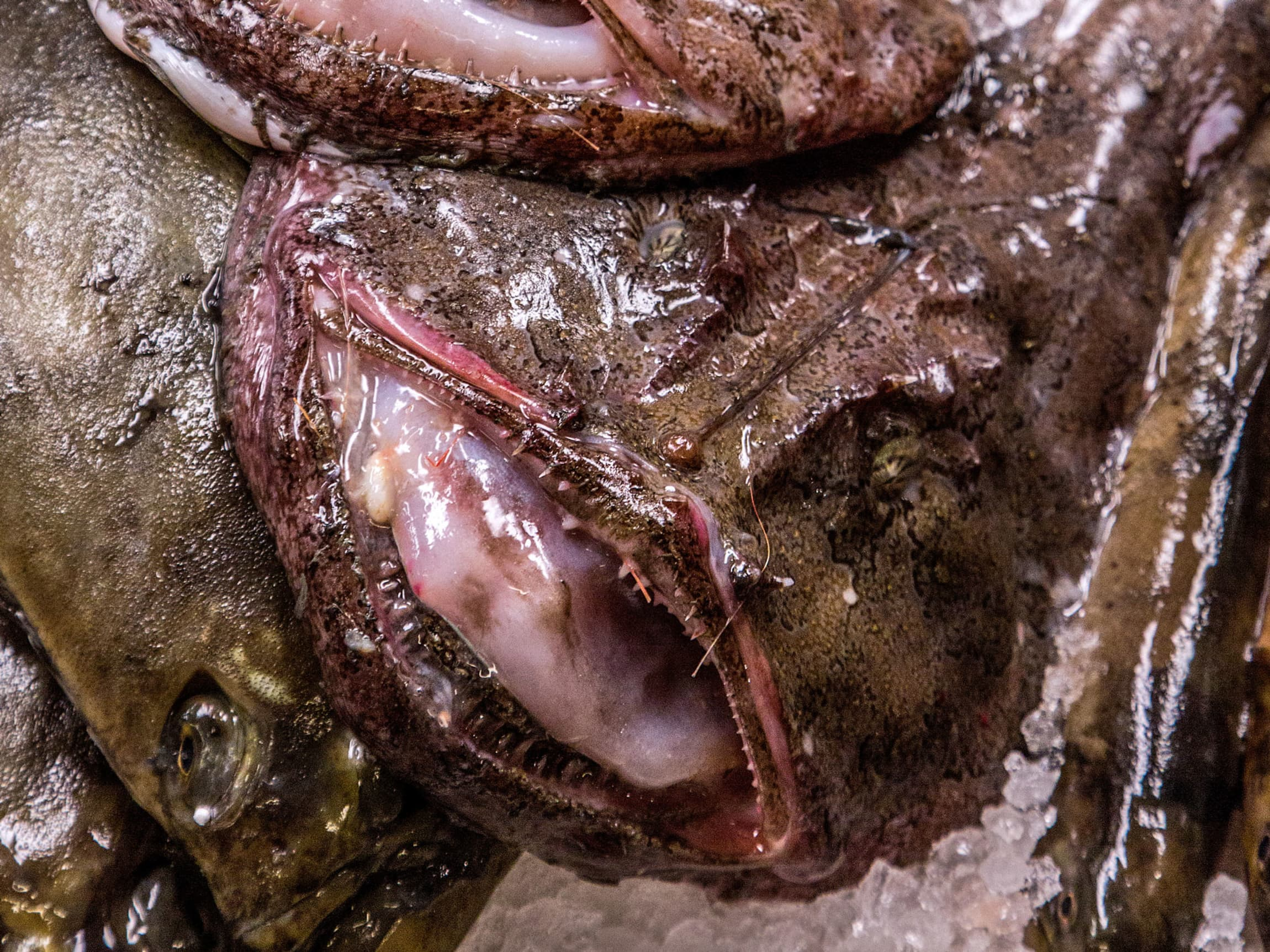 Breiflabb har ikke det mest innbydende utseendet, men fiskekjøttet er noe av det beste man kan servere.