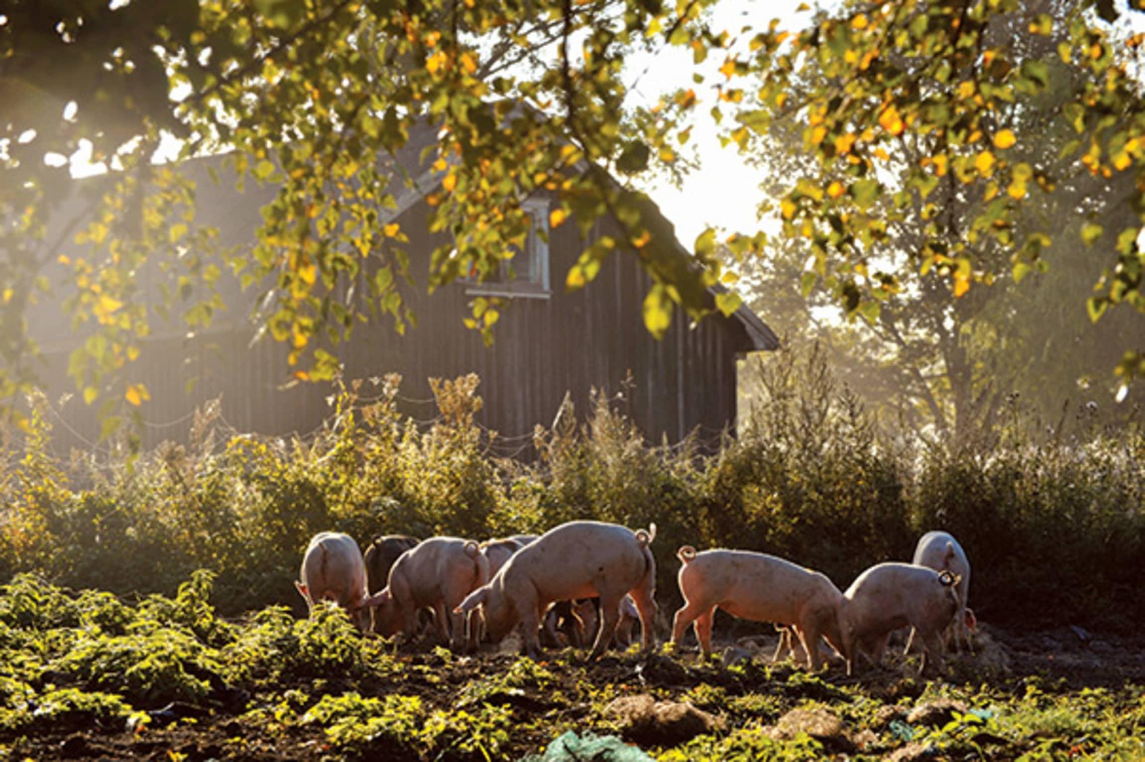 På Grøstad kan grisene gå ute hele året, og få utløp for naturlige instinkter som å grave i jorda