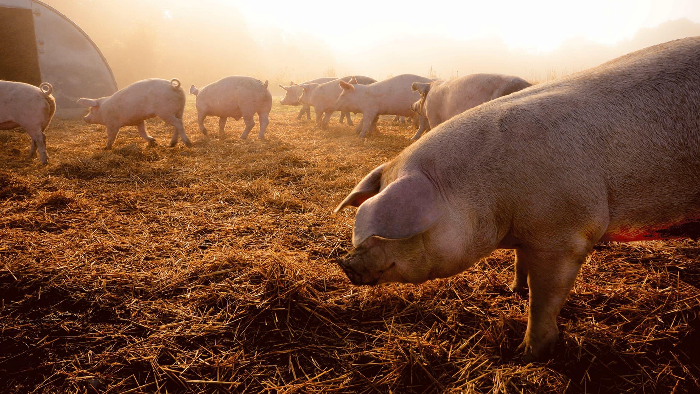 Å ha friheten til å rote i halm, gress og jord gir grunnlag for et lykkelig griseliv