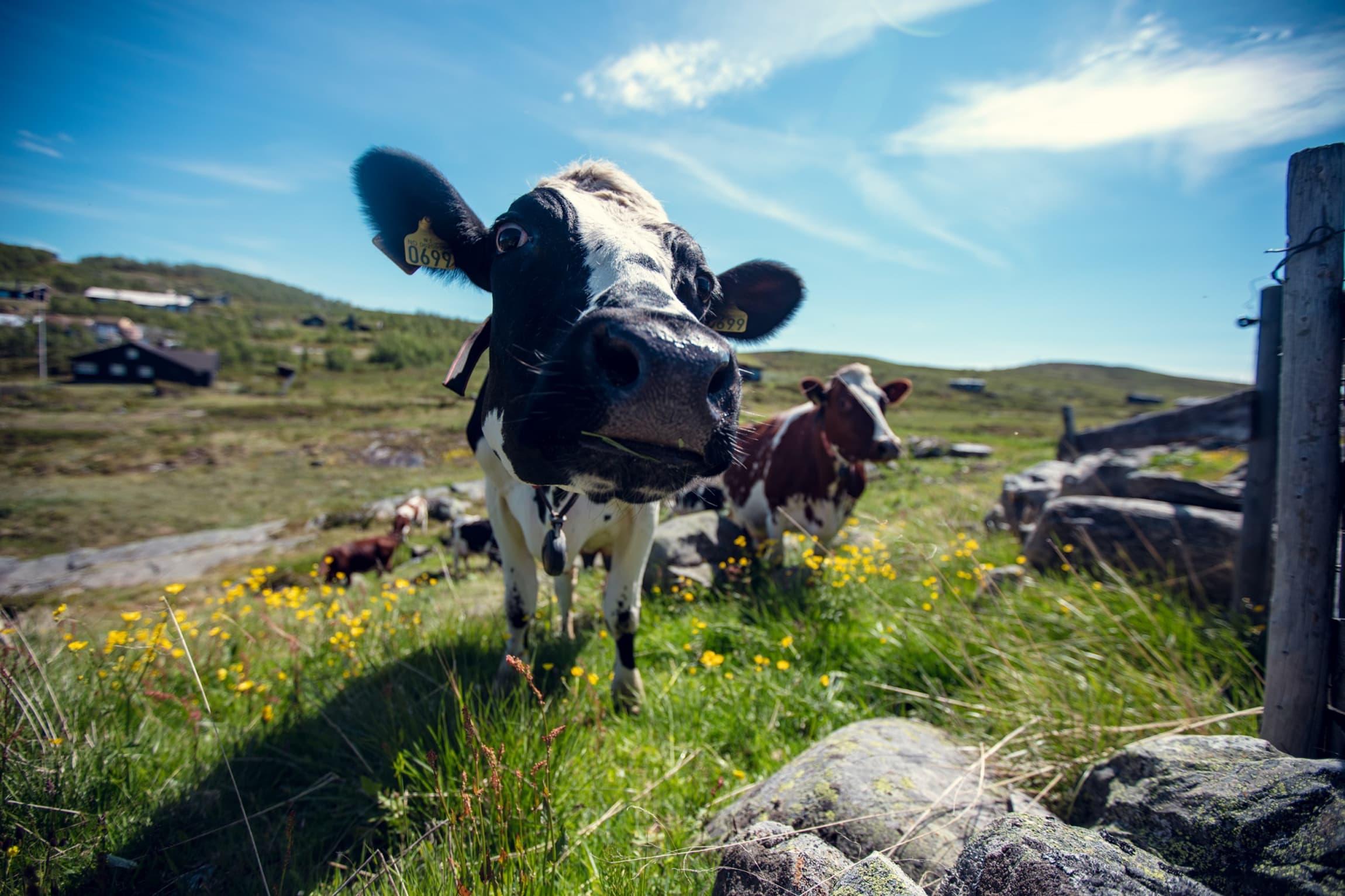 Friskt fjellbeite sumarstid gir glade kyr og god mjølk