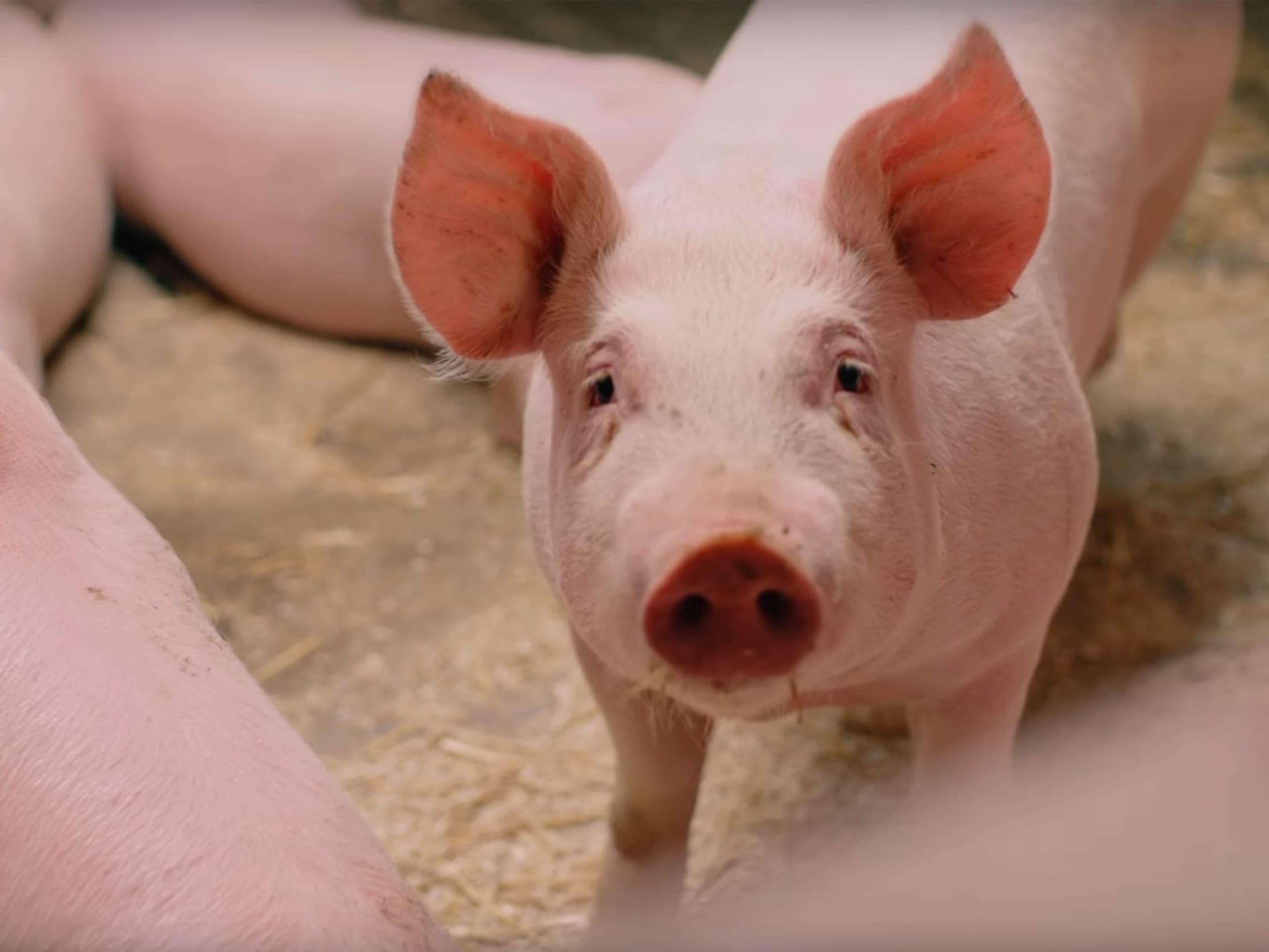 Takket være Jæren Smak har norske griser fått nye krav til dyrevelferd, ekstra plass, kort inntransport og ventilasjon.