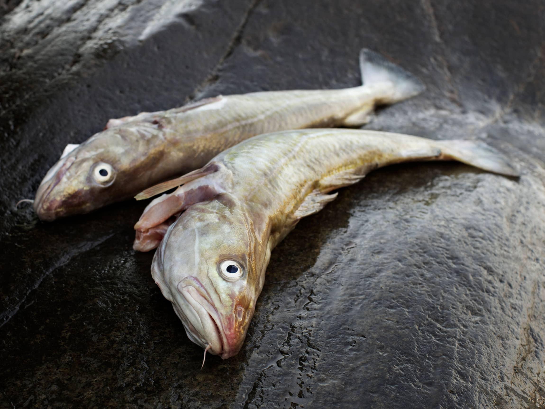Skrei eller torsk, vet du forskjellen?