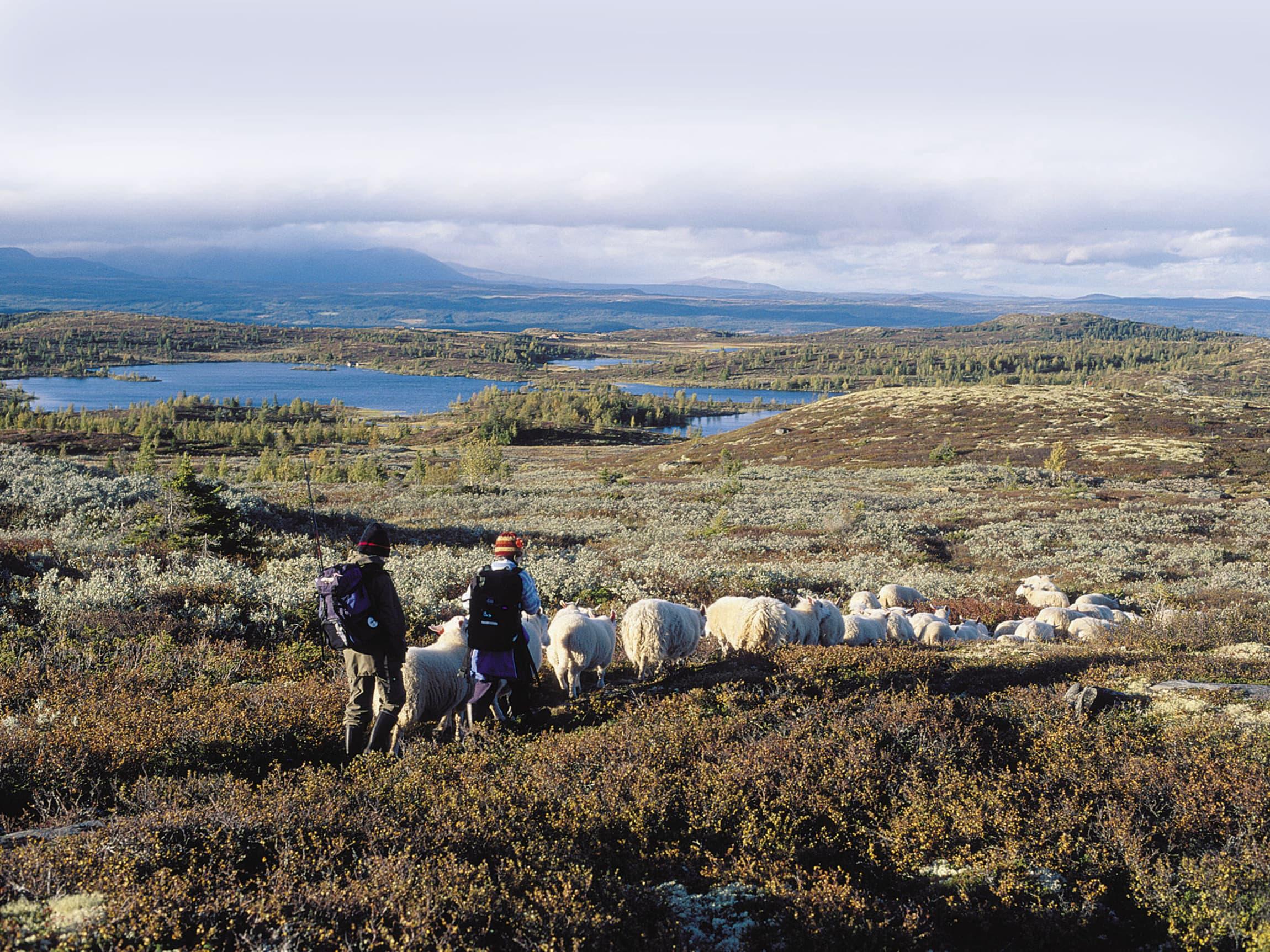 Det er ikke uvanlig at sauer og lam vandrer langt på beite. Her fra sauesanking i fjellet.