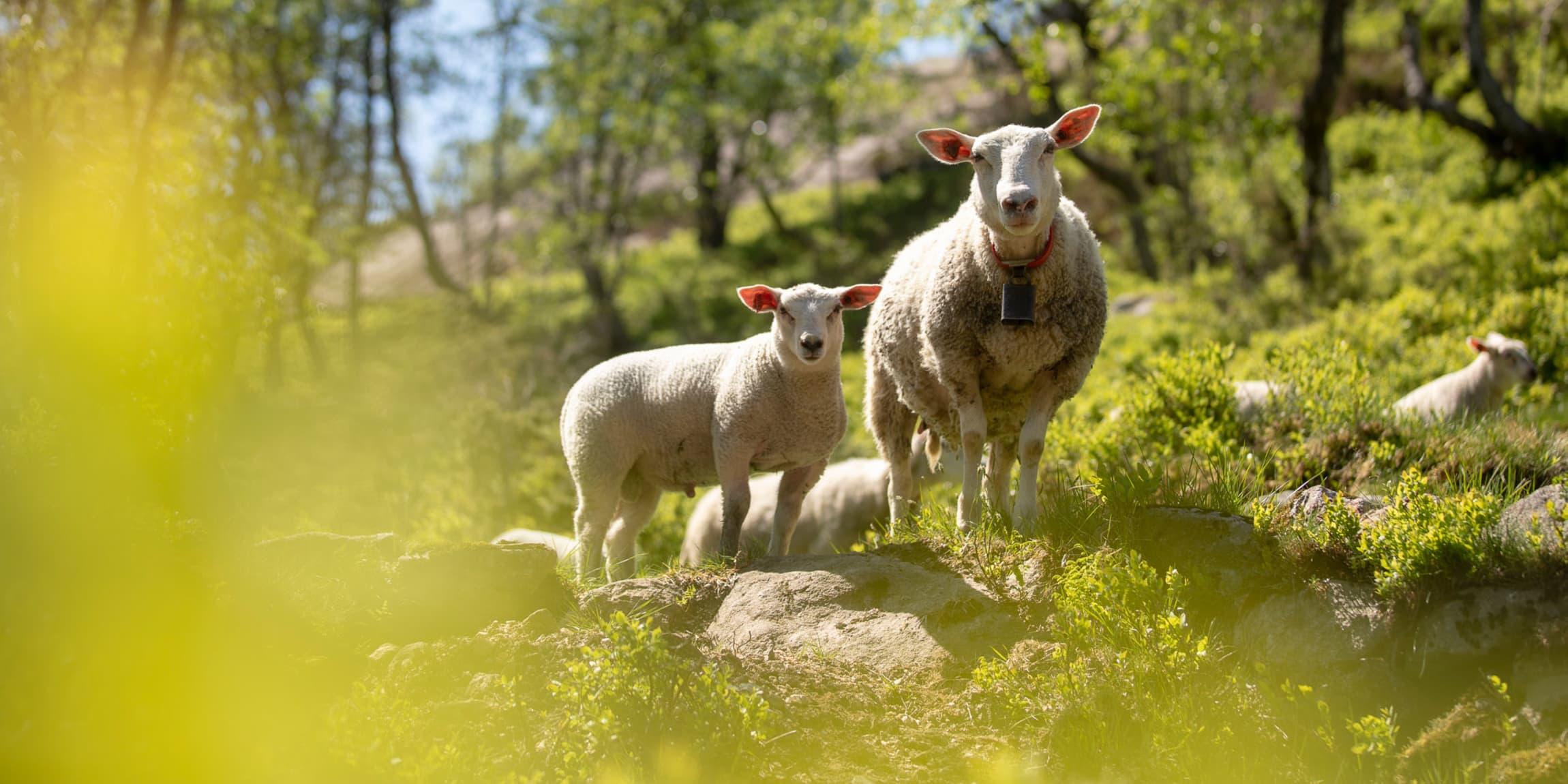 hvor høy kvalitet og god dyrevelferd er fundamentet for Jæren Smak