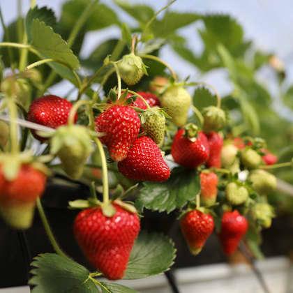 Jordbær fra Trøndelag