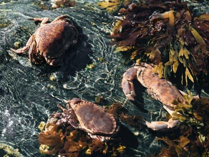 Verdens beste krabbe