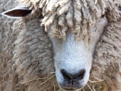 Ord og uttrykk fra fårenes verden