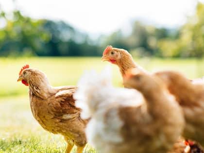 Kylling på verandaen