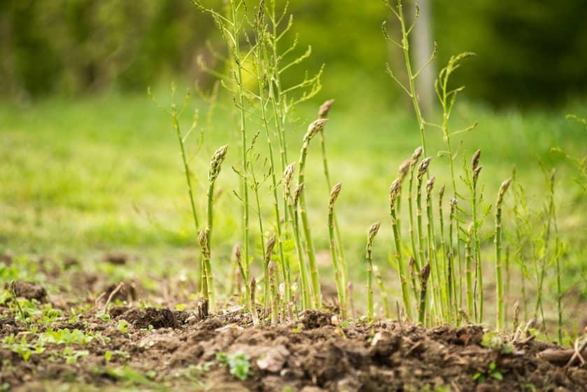 Hvasser asparges - Færder i Vestfold