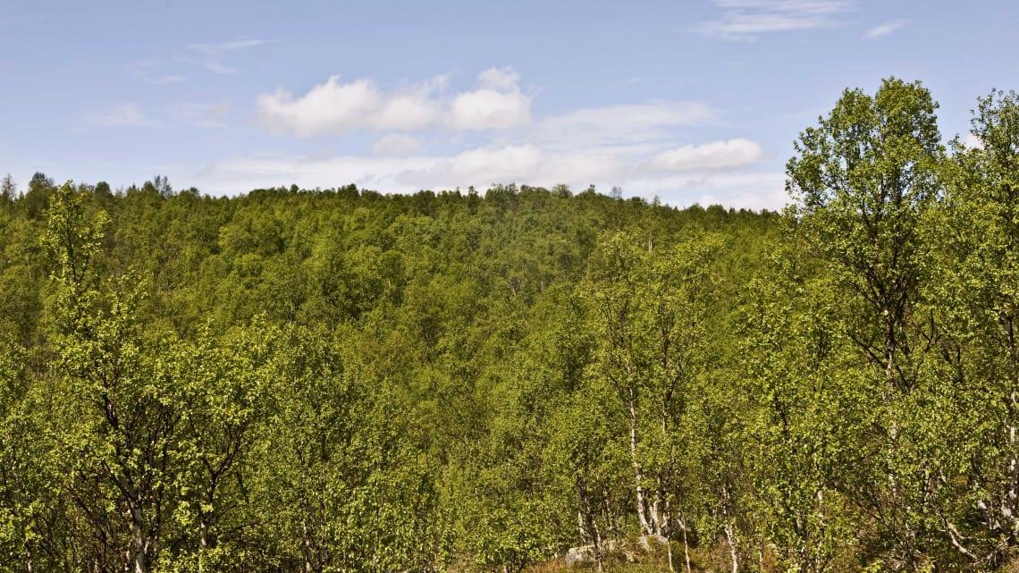Mye vedvirke og annet  trevirke i Norges skoger
