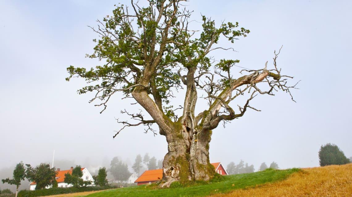 Bokanmeldelse av boka «Trettitre norske trær og hva de har vært vitne til.»