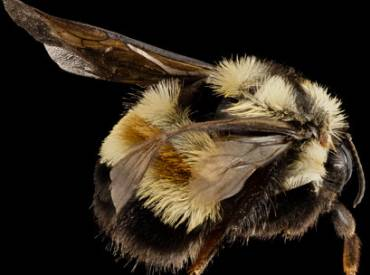 2017 March Conservation rusty patched bumblebee 410