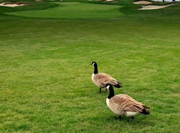 2019 July NRPA Update Hot Topics Geese 410
