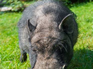 2019 October Law Review ADA Claim to Allow Emotional Support Hog in Parks 410