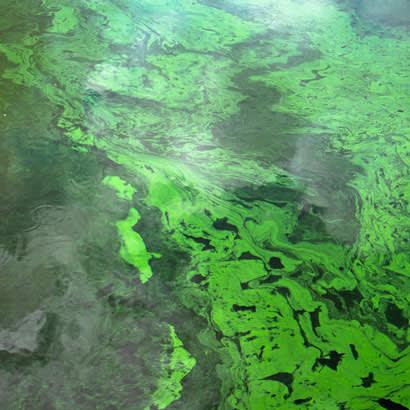 Blue Green Algae blog 410