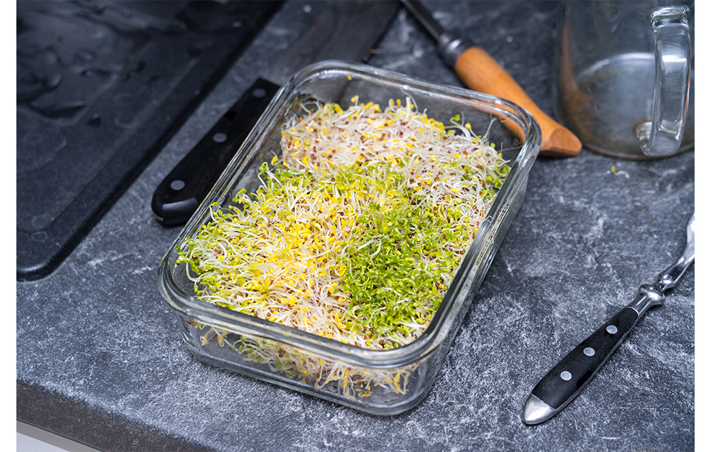 fresh broccoli sprouts in a glass container