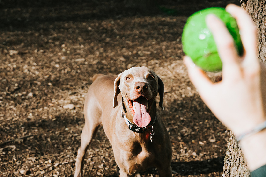 Dog waiting for ball throw at the park