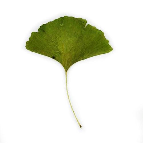 Ginkgo leaf example