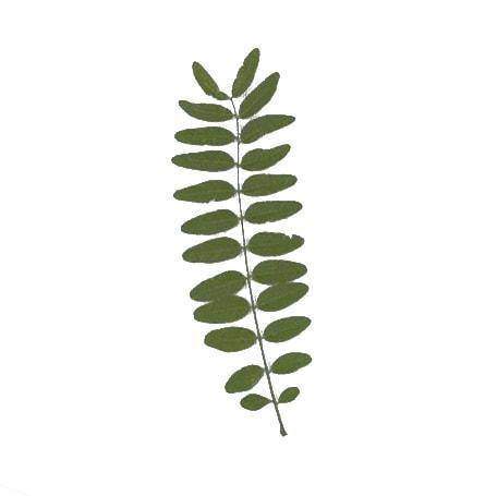 Thornless Honey locust leaf example