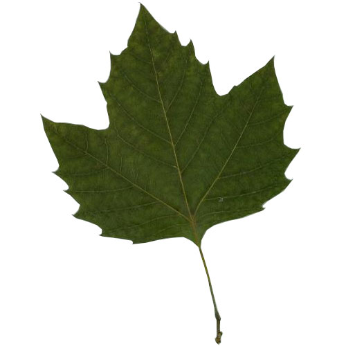 London Planetree leaf example