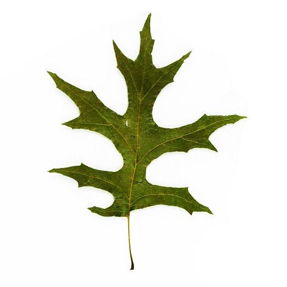 Pin Oak leaf example