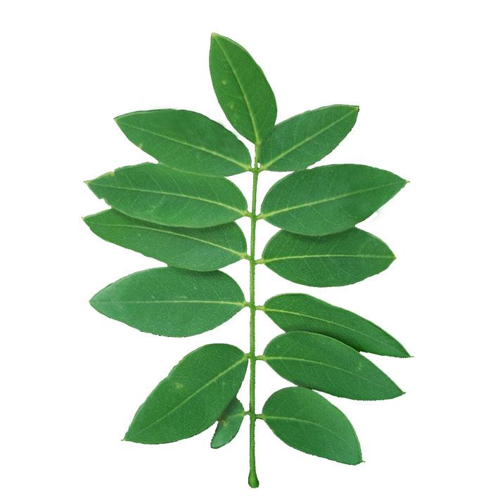 Japanese Pagoda Tree leaf example