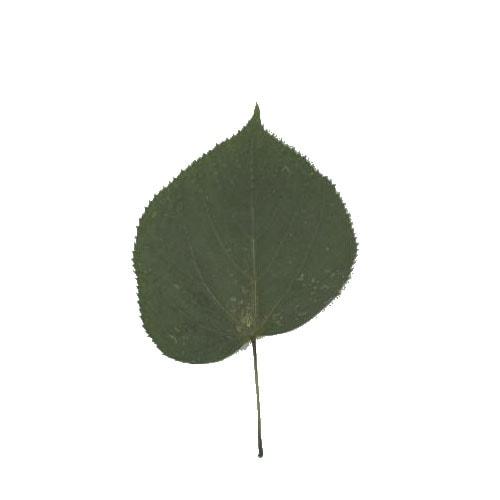 Littleleaf Linden leaf example