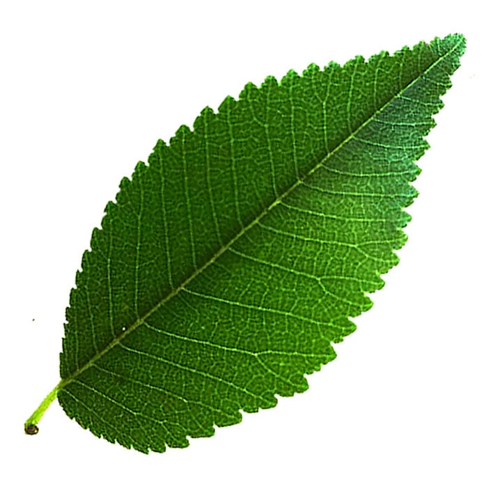 Chinese Elm leaf example