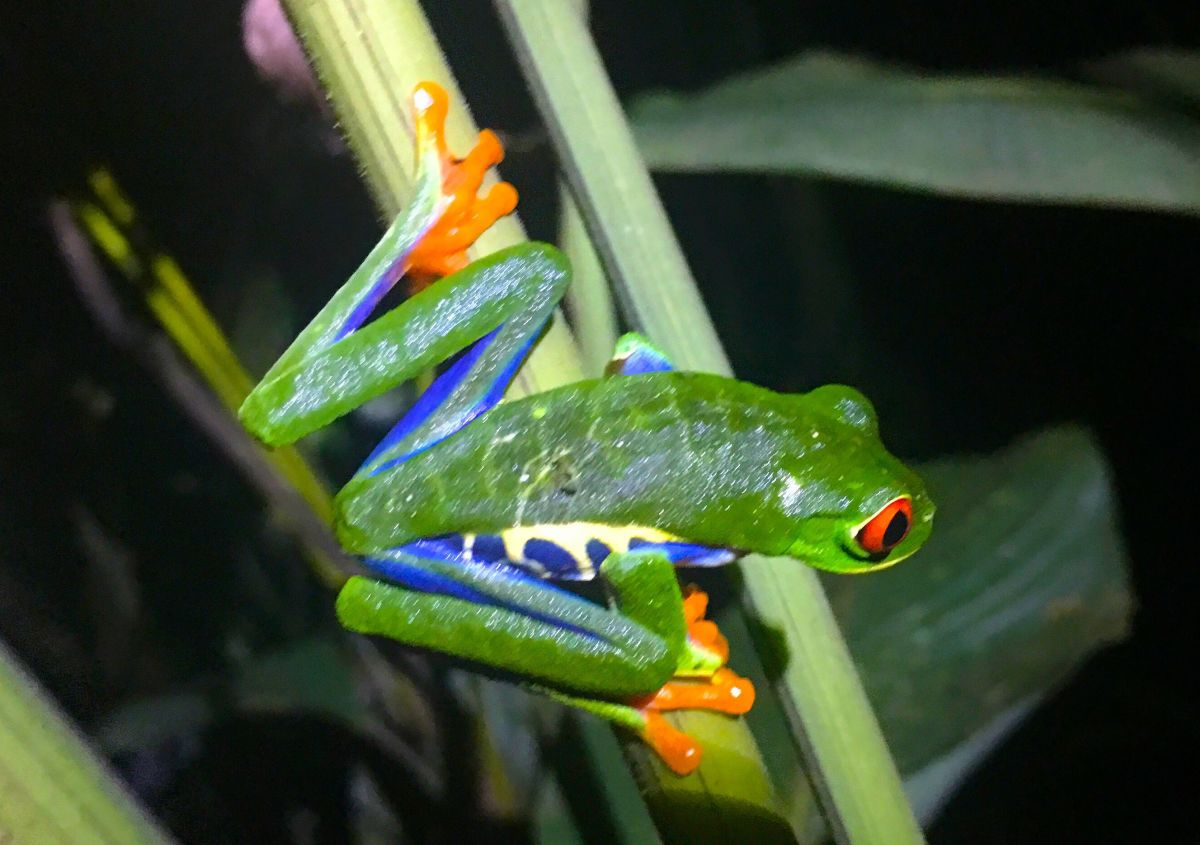 costa rica tours red eyed tree frog