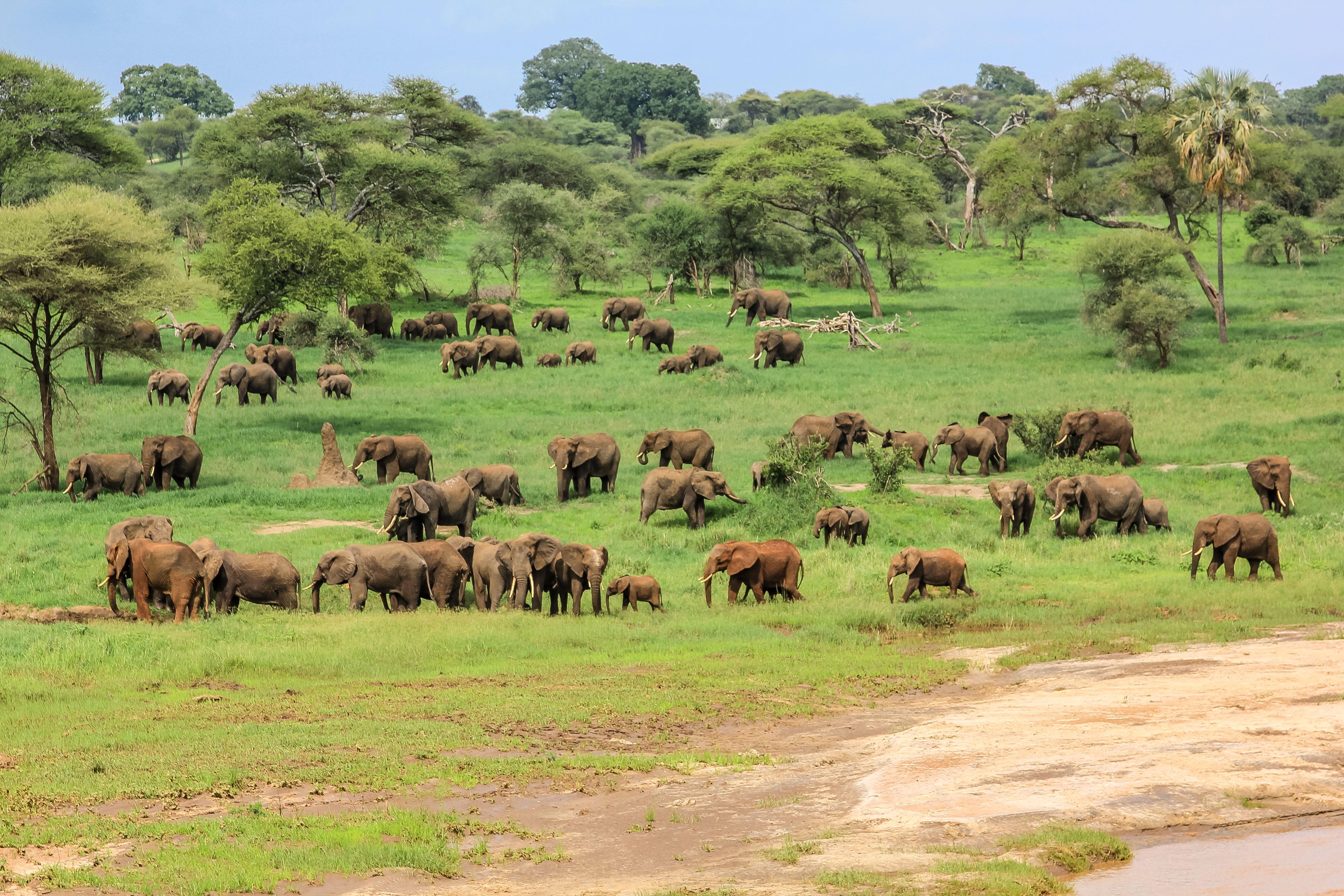 tarangire wildlife elephants