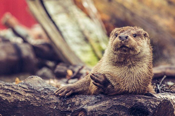 En av otrene som bor i Akvariet i Bergen som ligger på en trestamme