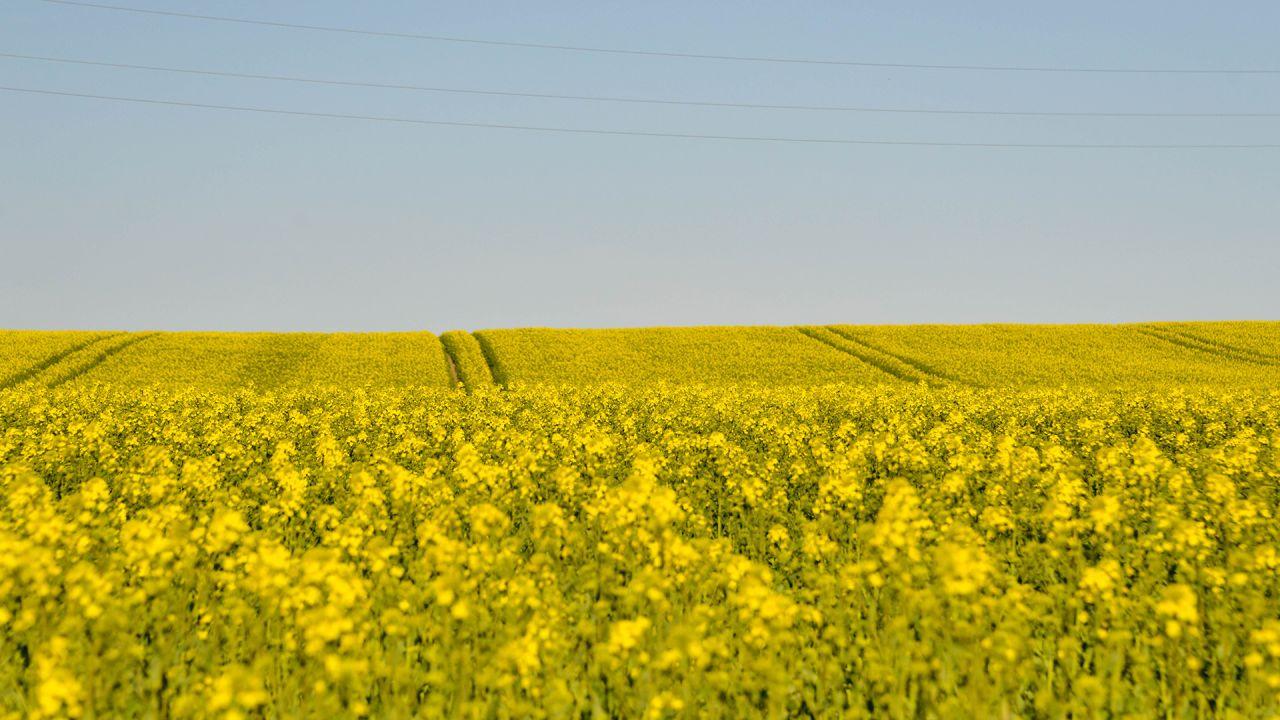 fält av gula blommor