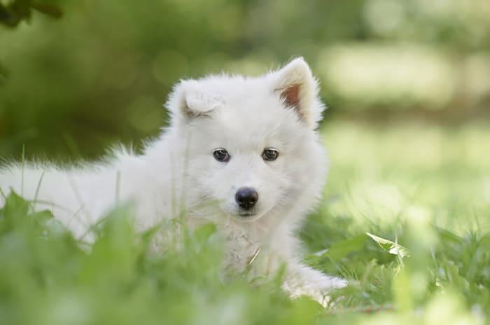 søt liten hvit valt ligger i sola i gresset