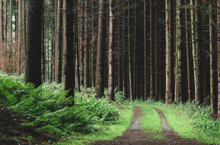 en skogsstig med träd