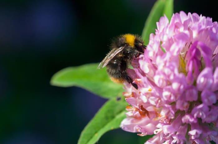 Fotografi av en bie i Løren botaniske