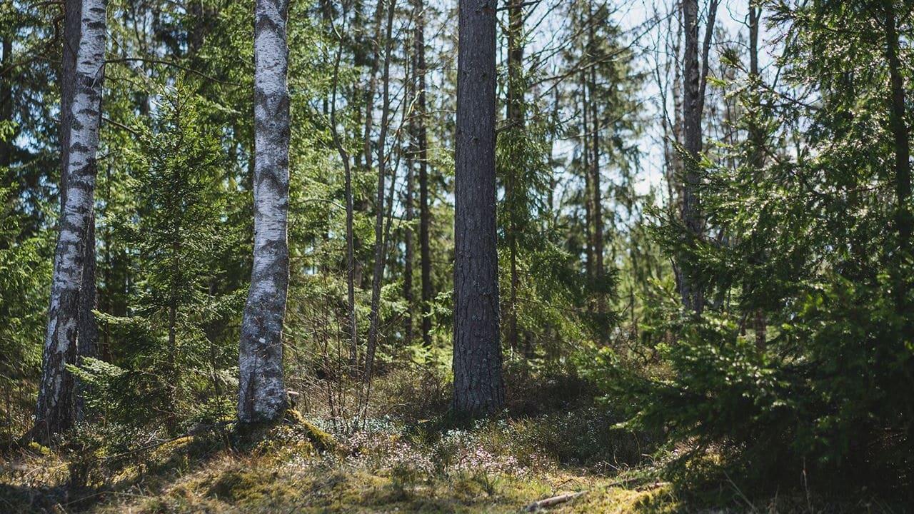 Skog med mossa