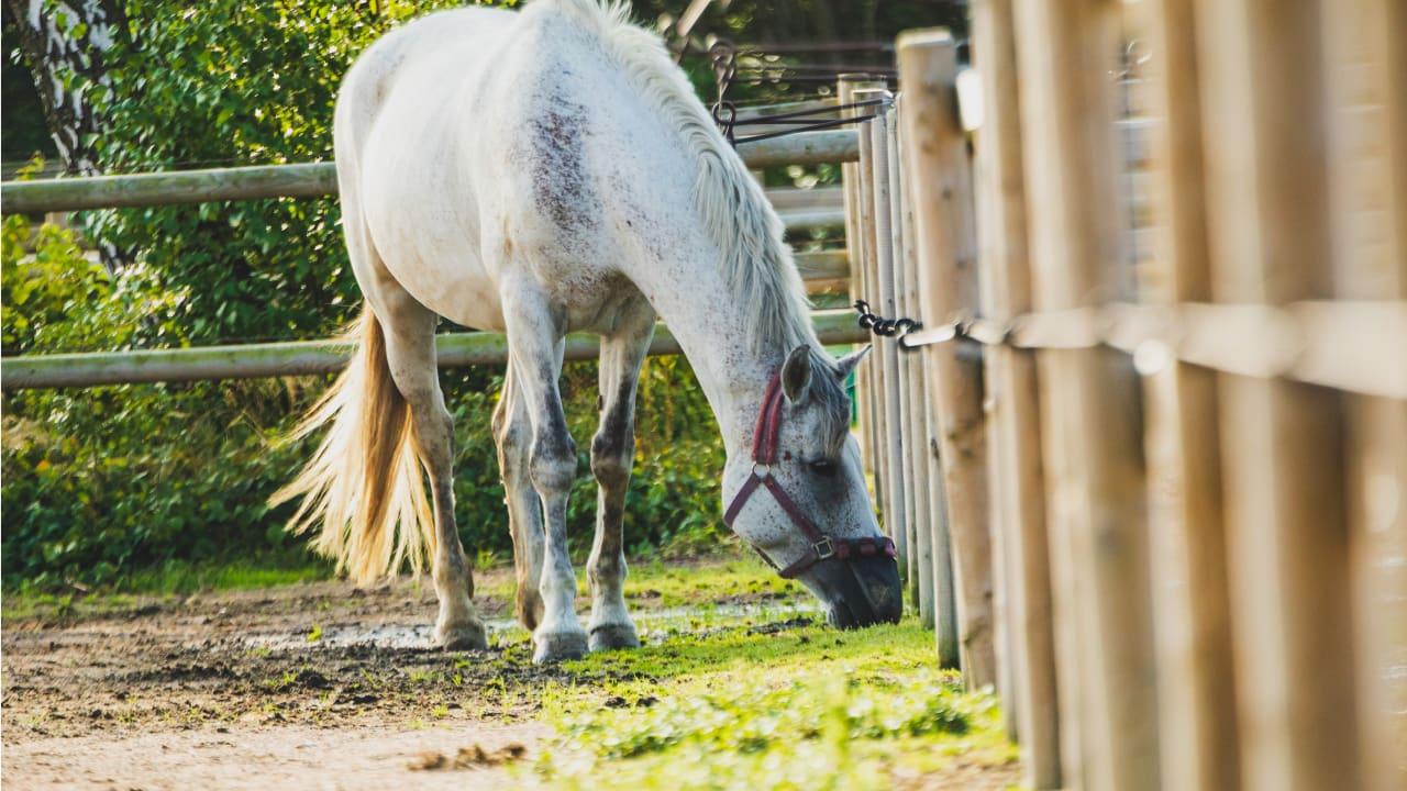 betande häst i hage
