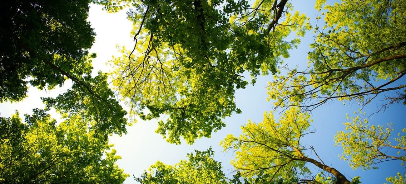 Viser trær sett nedenfra og opp mot himmelen