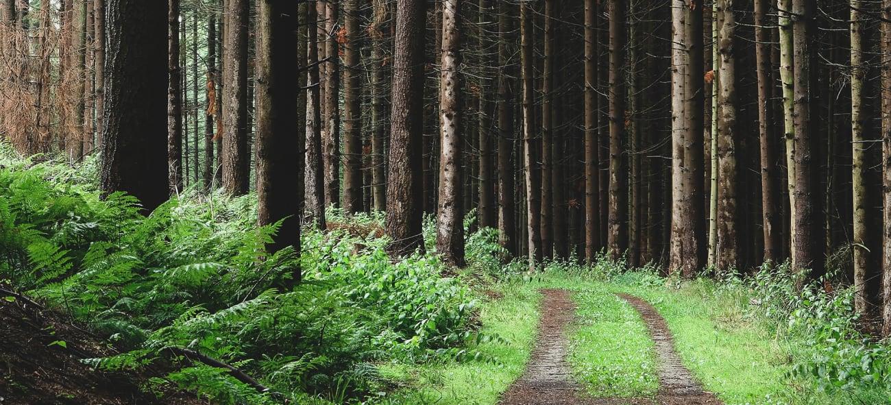 en skogsstig i en granskog