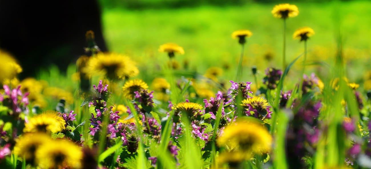 Blomstereng, bildet er tatt av Jenő Szabó fra Pixabay