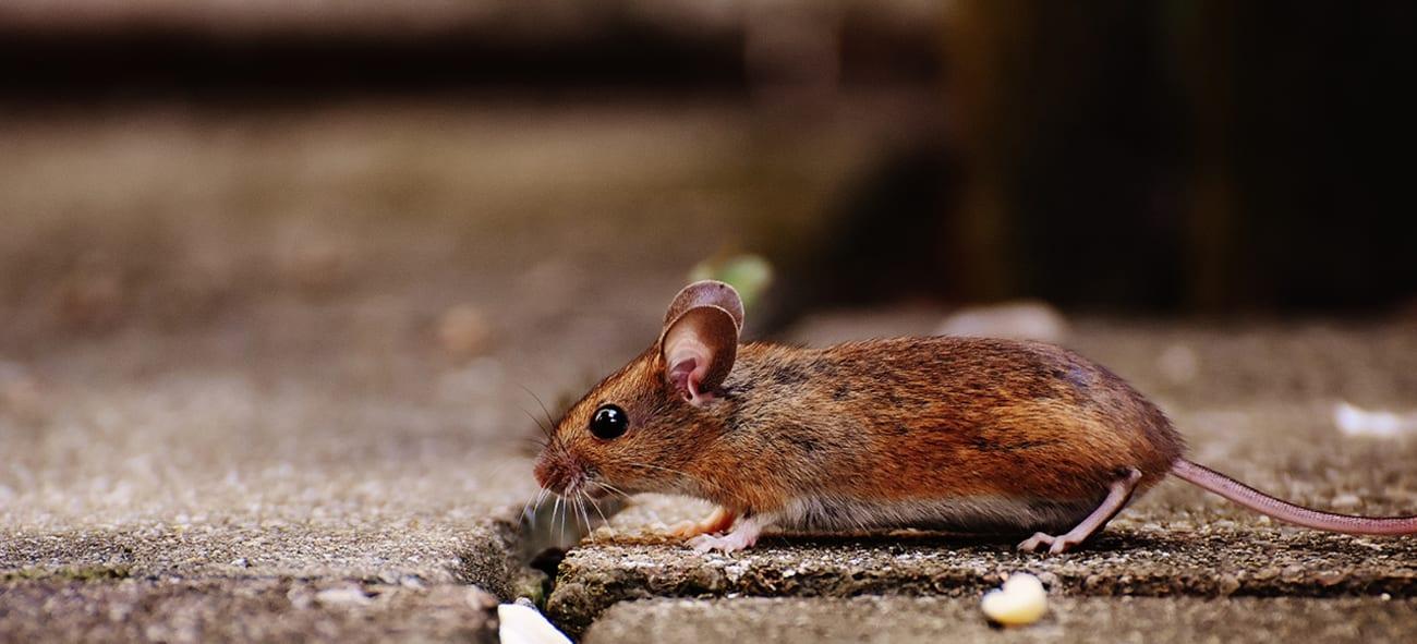 En mus utendørs på asfalt