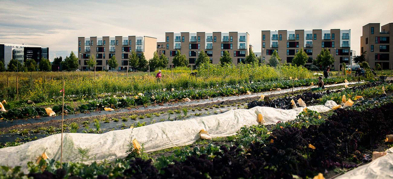 Samdyrkelaget's grønnsakshage på Fornebu.