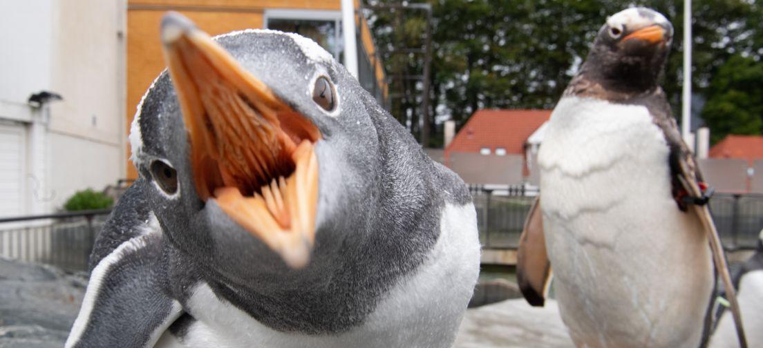 Pingvin gaper mot kameraet