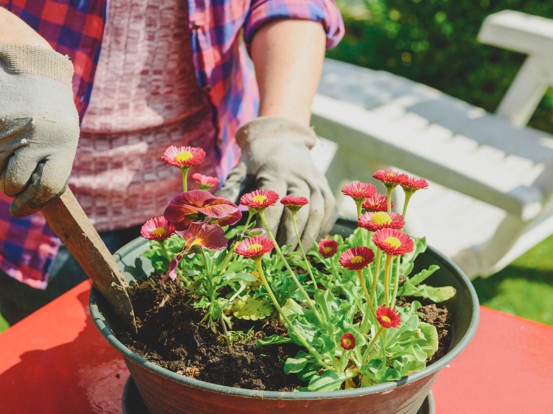 en kvinna planterar blommor i en kruka