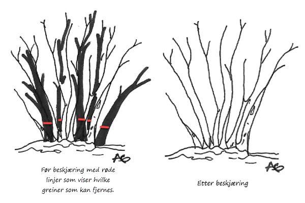 Illustrasjon som viser hvordan busker bør beskjæres.
