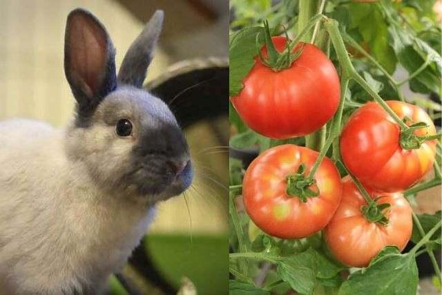 can rabbit eats tomato
