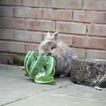 do rabbits eat cauliflower