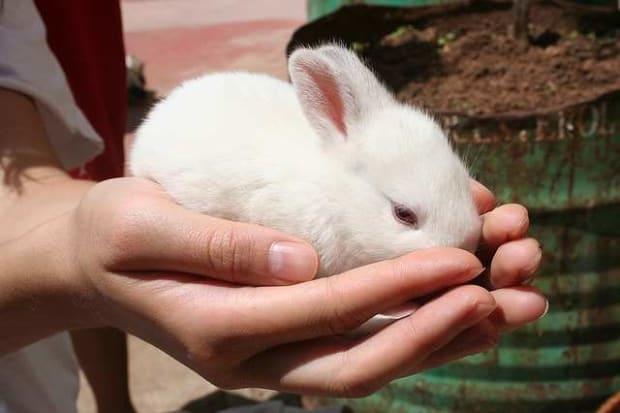 Beat hay for baby rabbit