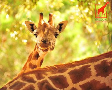 Interacção e Alimentação das Girafas | 1 Pessoa - 1h | Badoca Safari Park